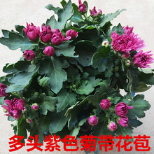 多年生qi荷兰盆栽四vb年开花不断阳台室内庭院花卉