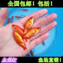 红鲫鱼(小)金鱼红草qu5红鲤鱼淡tz观赏冷水鱼活体饲料鱼放生鱼
