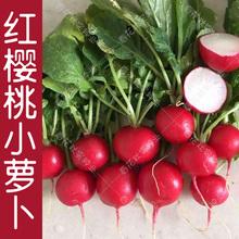 早熟水果樱桃(小)萝卜种子 春夏秋四qu13播蔬菜ai栽大田易种孑