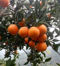 现摘现qy新鲜橙子中pw当季水果10斤包邮秭归脐橙红心橙子