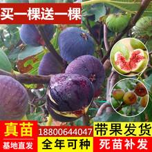 无花果qz苗特大波姬kj地栽南北方种植果树苗当年结果