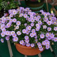 塔莎的花园 姬小菊盆栽带