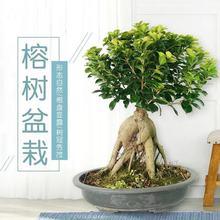 大(小)榕树盆ry2盆景 的su财树创意迷你绿植物 室内阳台花卉