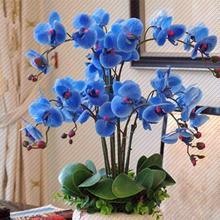 蝴蝶兰花苗室内s74植四季盆c7兰花君子兰种子