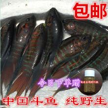 中国斗鱼活鱼不用打氧包邮耐养好sa12淡水观la体普叉