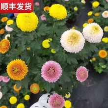 盆栽带sf鲜花笑脸菊sj彩缤纷千头菊荷兰菊翠菊球菊真花