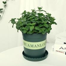 薄荷盆栽可食sh3香料植物ge茶调酒薄荷糕点装饰薄荷叶