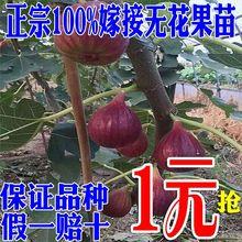 无花果sh苗盆栽地栽xk北方种植当年结果波姬红布兰瑞克水果苗