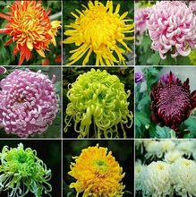 四季菊si苗盆栽室内ve植物阳台花卉绿植物波斯菊翠菊