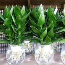 水培办公sk内绿植花卉li化空气客厅盆景植物富贵竹水养观音竹