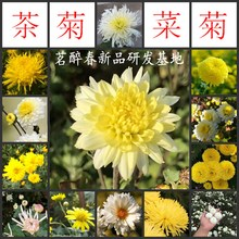 花苗迷so花卉盆栽绿in用泡茶菊花(小)苗室内外好养易活