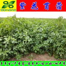 三得利紫花苜蓿种子 百绿进口su11草籽猪ok兔鱼南北方包邮