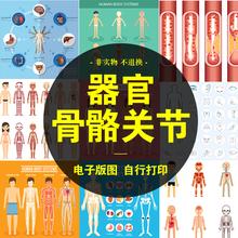 卡通的体器官的物男性女性解剖图内脏su14骼肌肉gi素材A113