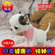 纯种幼犬吉娃娃犬活su6(小)型家养go物狗幼崽袖珍茶杯体家庭犬