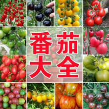千禧番茄圣女果种子圣tc7果蔬菜孑jk番茄沙瓤盆栽庭院阳台
