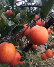 10斤te川自贡当季en果塔罗科手剥橙子新鲜水果