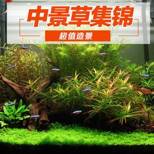鱼缸真水草造景套餐 水榕黑木蕨细叶铁皇冠睡莲日本箦藻鹿角包邮
