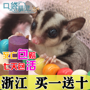 家养蜜袋鼯活体宝宝蜜袋鼬 蜜鼠口袋<span class=H>宠物</span> 小飞鼠蜜袋鼠密袋鼯幼崽