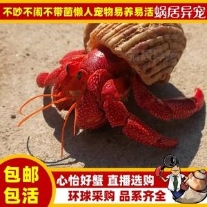 陆生超大草莓灰白短腕寄居蟹观赏虾蟹活物懒人<span class=H>宠物</span>蟹包邮包活