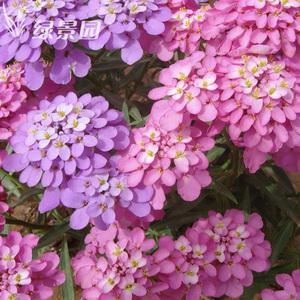 蜂室花种子屈曲花景观园林<span class=H>园艺</span><span class=H>鲜花</span>种子包邮庭院绿化观花种子易种