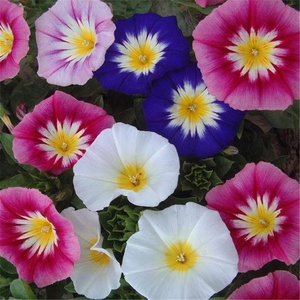 三色旋种子三色朝颜花卉种子园林景观园艺<span class=H>鲜花</span>植物花种子
