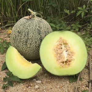 海南梅珑瓜4.5-5斤 新鲜水果甜瓜现摘现发梅珑网纹蜜瓜<span class=H>哈密瓜</span>