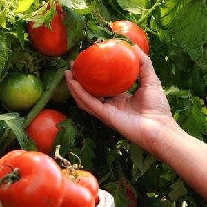 云南沙瓤番茄新鲜西红柿自然熟新鲜农家有籽<span class=H>水果</span>蔬菜洋柿子 5斤