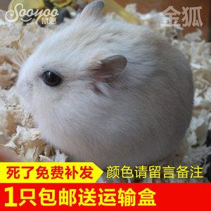 【鼠愿】金狐<span class=H>仓鼠</span>活体小奶茶迷你温顺宠物宝宝可爱侏儒鼠公母包活