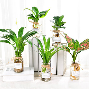 白掌琴叶榕盆栽室内袖珍椰子如意皇后水养花<span class=H>水培</span>植物创意玻璃花瓶