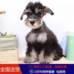 出售纯种活体幼<span class=H>犬</span>赛级白胡子老头狗玩具体迷你雪纳瑞<span class=H>犬</span><span class=H>宠物</span>狗小狗