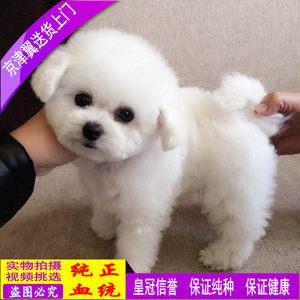 北京<span class=H>犬</span>舍白色<span class=H>玩具</span>体泰迪幼<span class=H>犬</span>纯种茶杯<span class=H>贵宾</span><span class=H>犬</span><span class=H>活体</span>宠物狗狗幼<span class=H>犬</span>出售