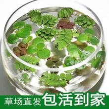 鱼缸乌龟金鱼芝麻th5萍水草活sa性除净化水质微景观水族