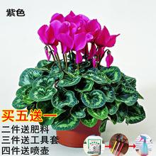 带花仙客来四季开花仙客来盆栽th11邮年宵ri花卉兔子耳花苗