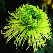 大菊花th带花苞花卉wp物室内外庭院阳台盆栽绿四季开花