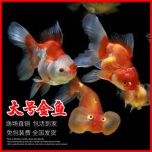 精品金鱼活体兰寿泰狮tk7水观赏鱼zn金鱼锦鲤宠物鱼金鱼鱼苗