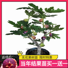 [tobis]无花果树苗南北方四季种植盆栽当年