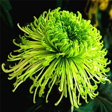 大菊花to带花苞花卉ti物室内外庭院阳台盆栽绿四季开花