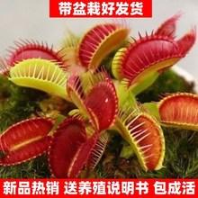 捕蝇草种孑含羞草盆栽植tr8室内四季in花卉种子盆栽植物花籽