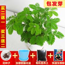 害羞草种子含羞草盆栽植物套餐uf11台绿植tr荷种籽四季易种