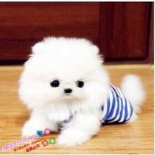 纯白色uf0美犬纯种tr日本俊介袖珍球体博美幼犬狗61y