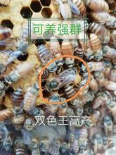 .中蜂蜂王土蜂良种vi6交高产王tb产新王包活到手新品热卖中