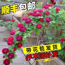 蔷薇花苗藤本wa3季特大浓ke藤植物花卉盆栽阳台玫瑰爬墙四季