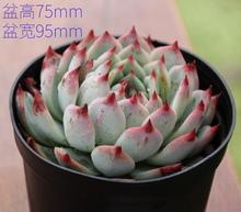 多肉吉wa娃多肉植物yj办公室桌阳台盆栽花卉吉娃莲趣味防辐射