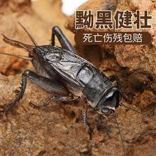 蟋蟀活物蟋蟀用具油葫芦鸣