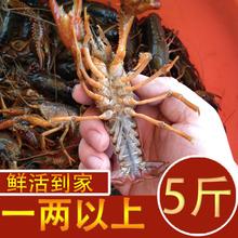 5斤(小)wr虾鲜活一两ii特大养殖龙虾苏北洪泽红壳清水活虾包活