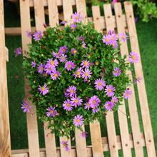 开花机xd 姬(小)菊盆sa 室外阳台庭院花卉植物菊花盆栽开花植物