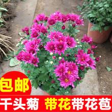千头菊xd季菊 多头sa菊美的菊荷兰菊大菊花盆栽带花苞