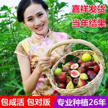 地栽苗xi特拉盆栽芭ie花果树苗南北方无花果庭院种植特大包邮