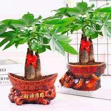 【送肥xw】发财树盆ih客厅好养绿植花卉办公室(小)盆景水培植物