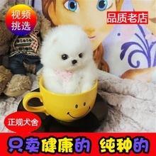 纯种长不大博美幼犬 茶杯yn9子袖珍犬wt活体(小)型犬训练服务